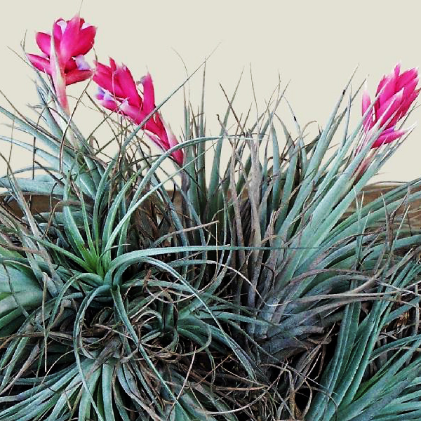 Tillandsia Cotton Candy Pink